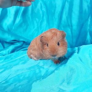 020-0216 Guinea Pig Sheltie Ginepig Erkek