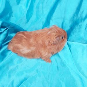 020-0219 Guinea Pig Sheltie Ginepig Erkek
