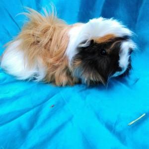 Ginepig Peruvian Guinea Pig Dişi  Sahiplendirildi Köyceğiz