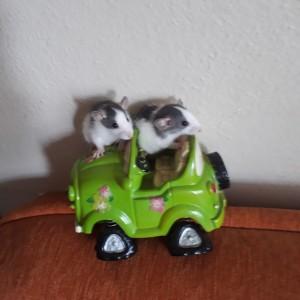 020-0301 Pet Rat Dişi-Erkek Çift Fiyatıdır