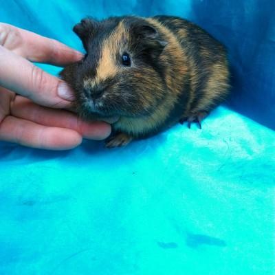 Ginepig Dutch Guinea Pig Dişi Sahiplendirildi