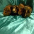 Ginepig Dutch Guinea Pig Dişi Yetişkin