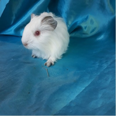 018-0612 Guinea Pig Sheltie Ginepig Dişi Sahiplendiirildi