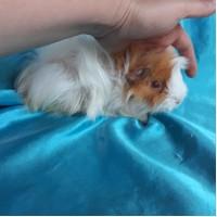 Ginepig Peruvian Guinea Pig Dişi Sahiplendirildi Ankara