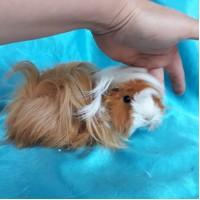 Ginepig Peruvian Guinea Pig Dişi Sahiplendirildi