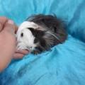 Ginepig Peruvian Guinea Pig Dişi