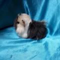 Ginepig Peruvian Guinea Pig Dişi Sahiplednirildi