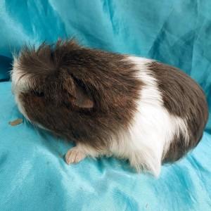 019-0816 Ginepig Coronet Guinea Pig Erkek Sahiplendirildi Yatağan