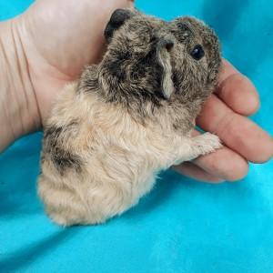 019-0930 Ginepig Kıvırcık (rex) Guinea Pig Erkek