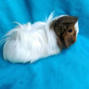 Ginepig Peruvian Melez Guinea Pig Dişi  Sahiplendirildi