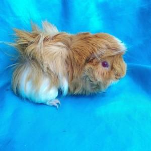 Ginepig Peruvian Guinea Pig Dişi  Sahiplenirildi Konya