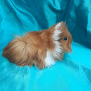 019-1104 Ginepig Peruvian Guinea Pig Dişi