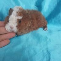 020-1123 Ginepig Kıvırcık Guinea Pig Erkek