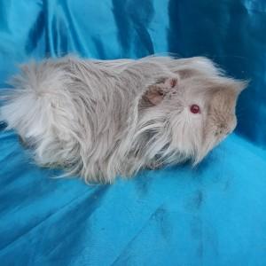 019-1228 Yetişkin Guinea Pig Peruvian Ginepig Erkek Sahiplendirildi Mersin