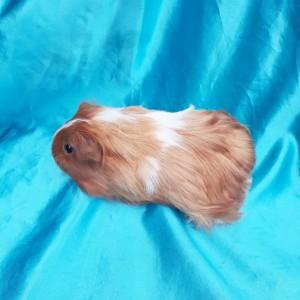 019-1237 Guinea Pig Sheltie Ginepig Dişi Sahiplendirildi Hatay