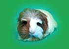 coronet guinea pig - ginepigler