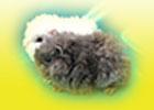 kivircik guinea pig - ginepigler