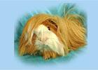 Peruvian guinea pig - ginepigler