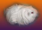 sheltie guinea pig - ginepigler