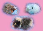 ucretsiz ginepig, guinea pigs